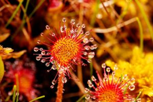 Bordeaux Expats - Round-leaved Sundew,